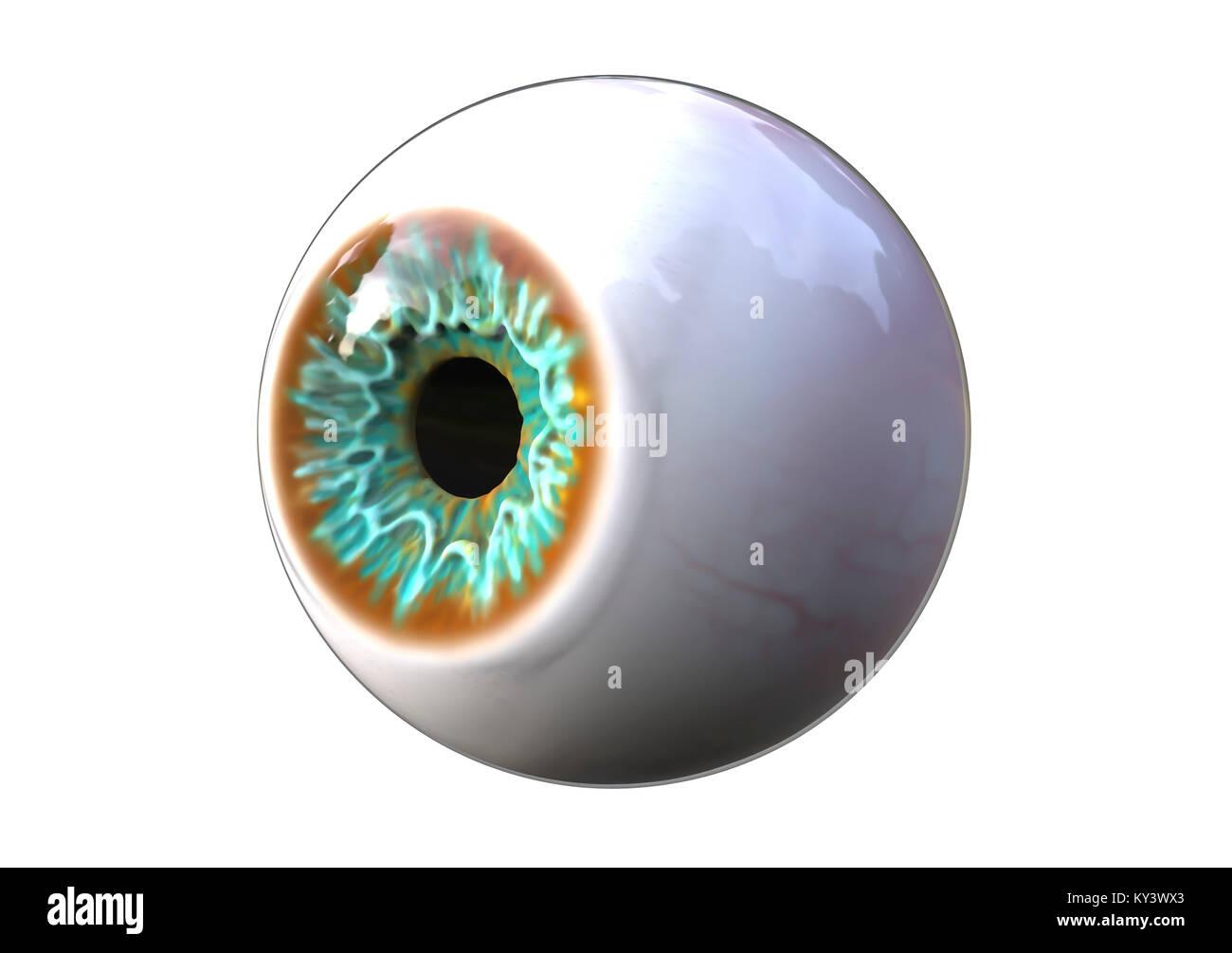 Computer Abbildung eines menschlichen Augapfel Stockfoto, Bild ...