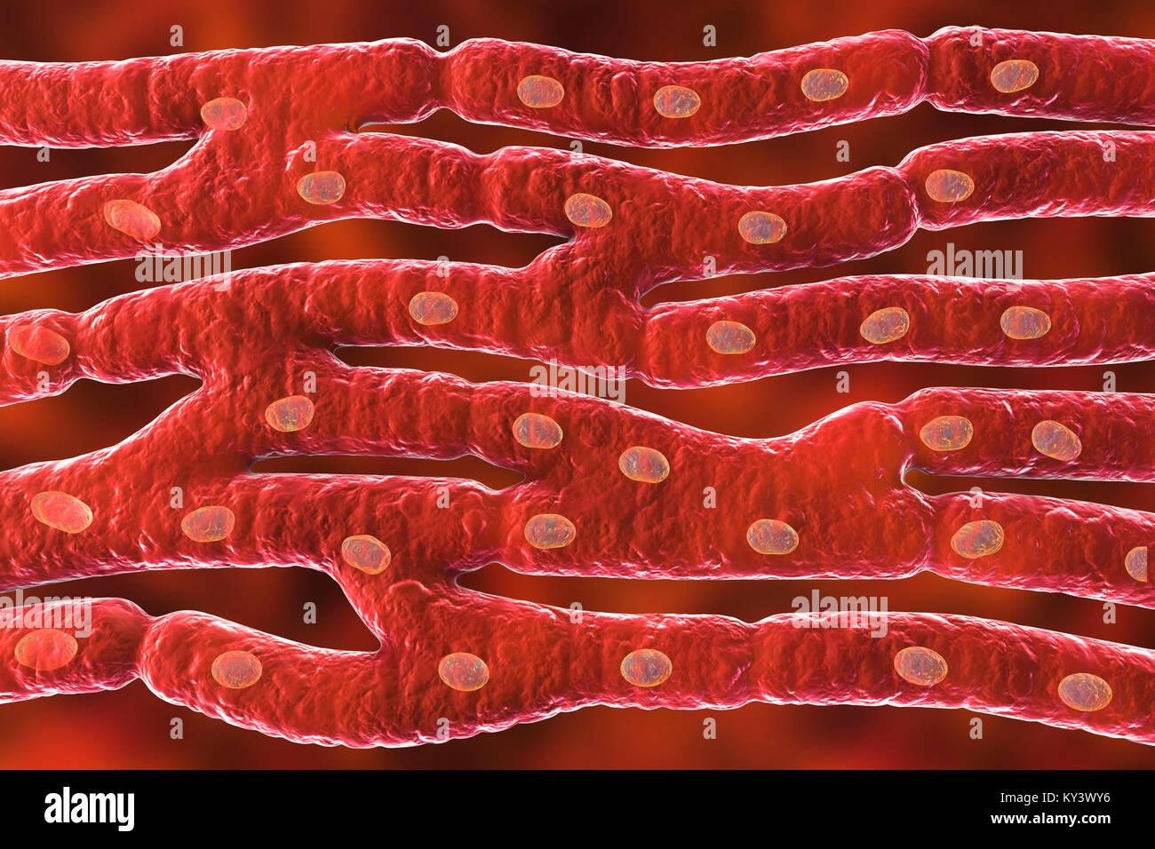 Herzmuskel Struktur, computer Abbildung. Herzmuskel besteht aus Spindelförmige Zellen in unregelmäßigen Stockbild
