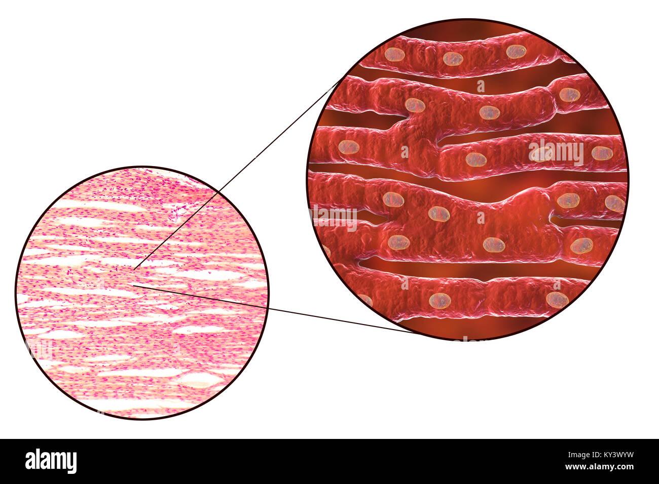 Berühmt Muskelgewebe Bilder Ideen - Menschliche Anatomie Bilder ...