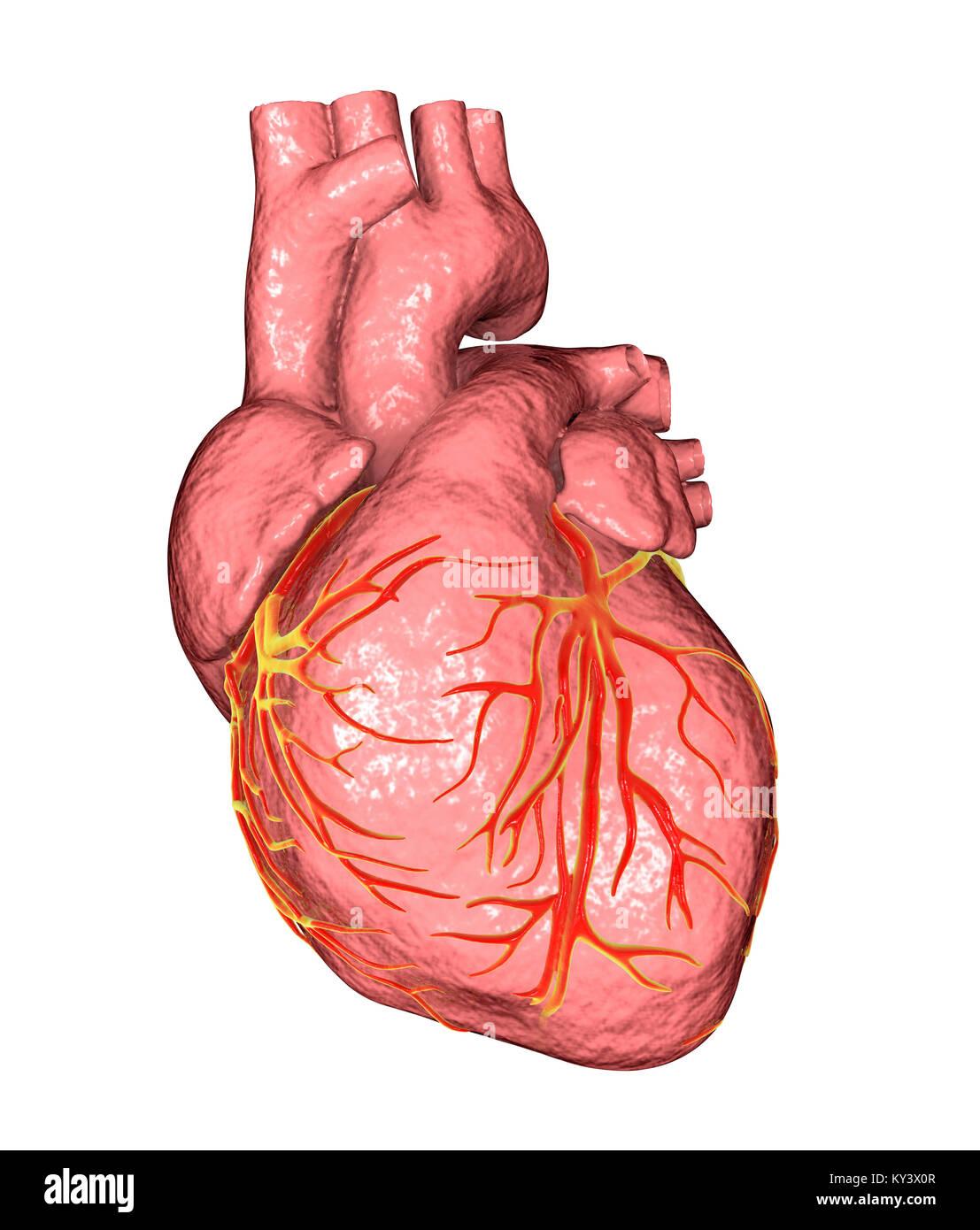 Groß Oberfläche Anatomie Des Herzens Galerie - Menschliche Anatomie ...