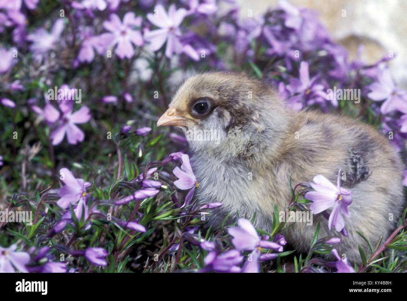 Adorable graue Küken (Gallus gallus) in Lavendel Phlox (Phlox stolonifera) im Frühling, Missouri, USA. Stockbild