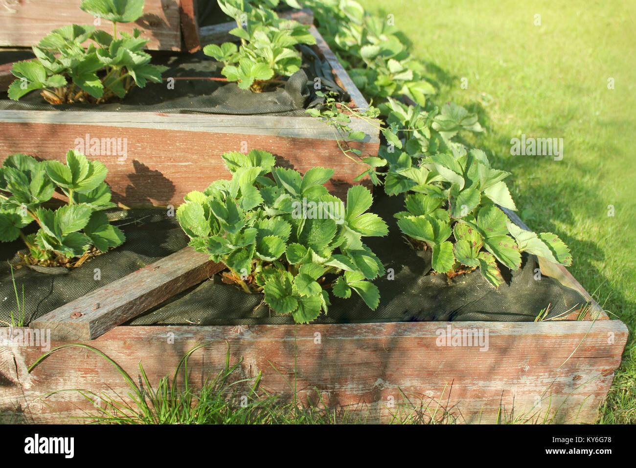 Erdbeeren wächst in angehobener Garten Bett. Pyramide angehoben Garten Stockbild