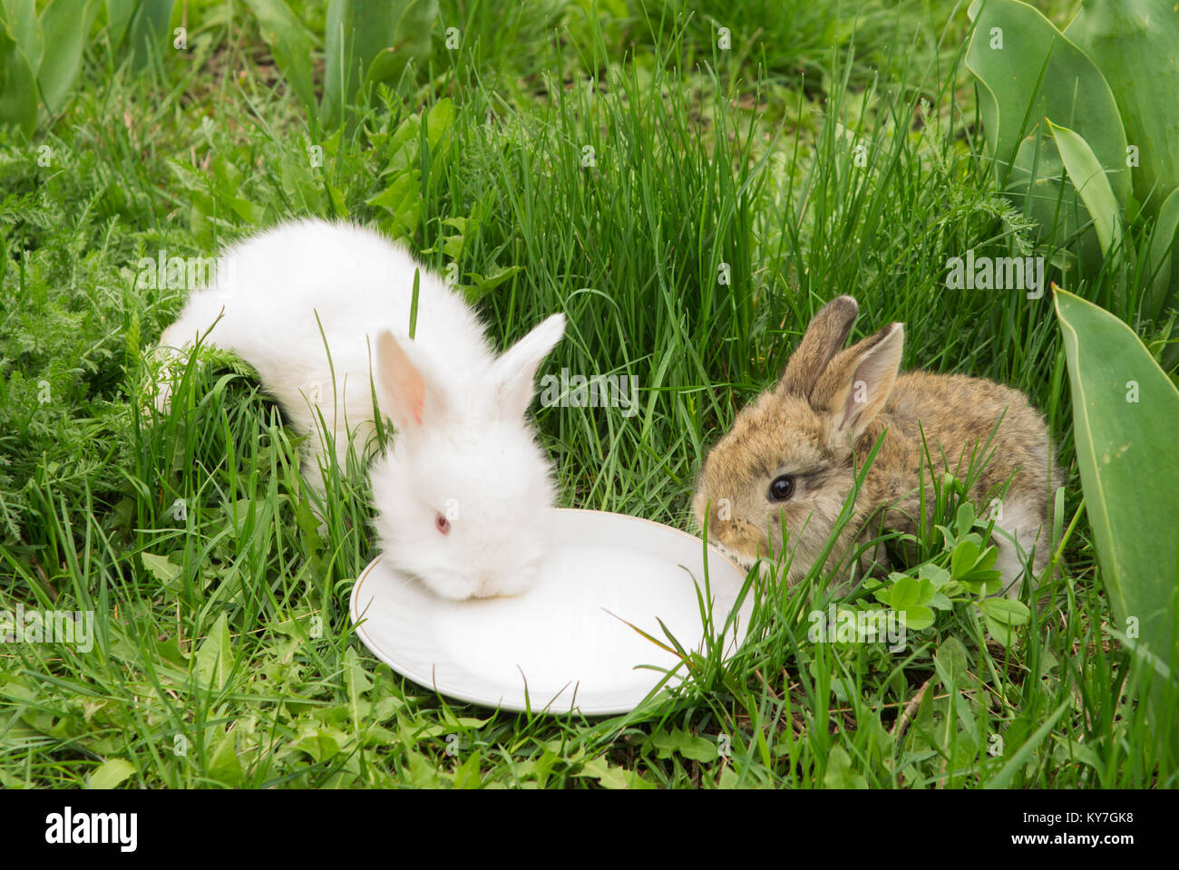 zwei kleine kaninchen trinken milch aus einer untertasse auf gr nem gras wei e und braune hase. Black Bedroom Furniture Sets. Home Design Ideas