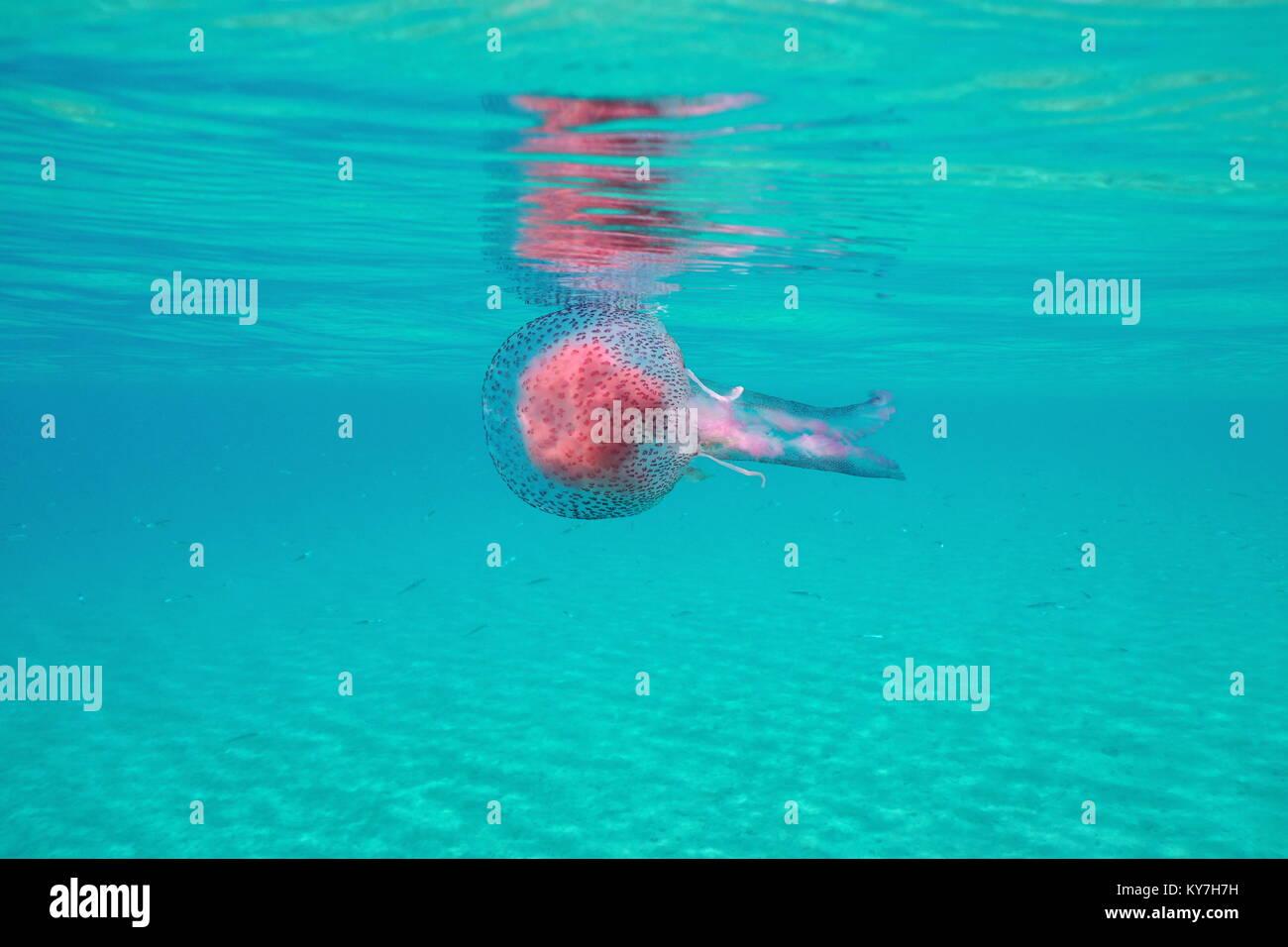 Quallen unter Wasser Oberfläche im Mittelmeer, mauve Stinger Pelagia noctiluca, Spanien, Costa Brava Stockbild