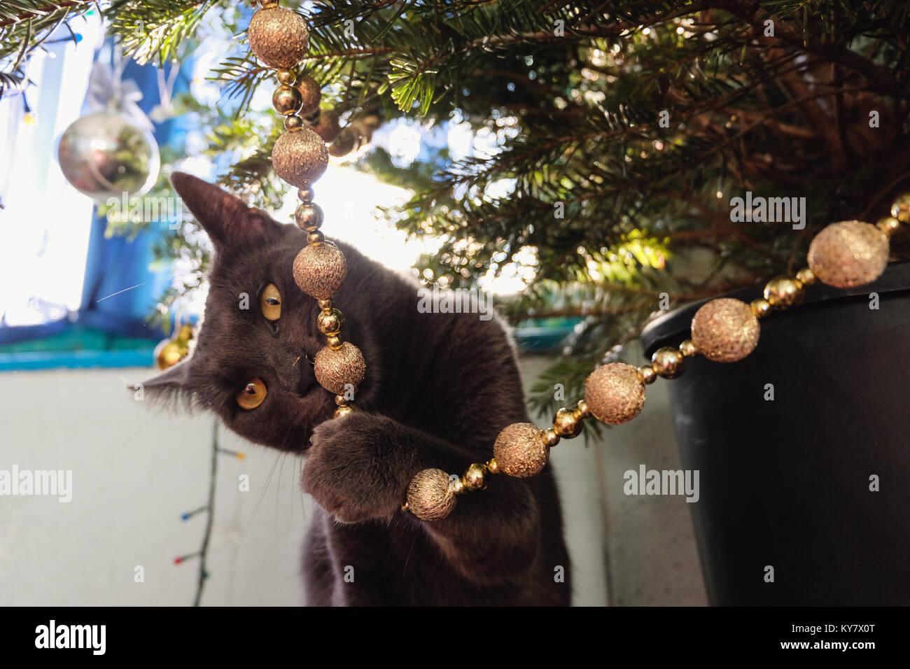 Russisch Blau Katze Suchen Defiant Beim Kauen Auf Christbaumschmuck