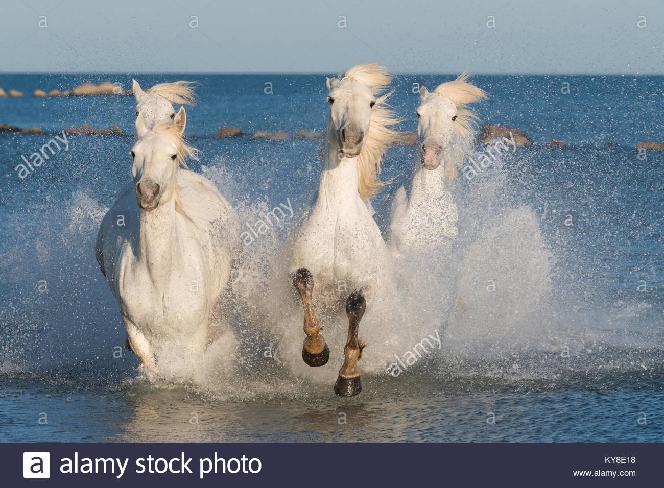 Camargue Pferde in der Nähe von Saintes Maries de la Mer, Frankreich, Anfang Mai, von Dominique Braud/Dembinsky Stockbild