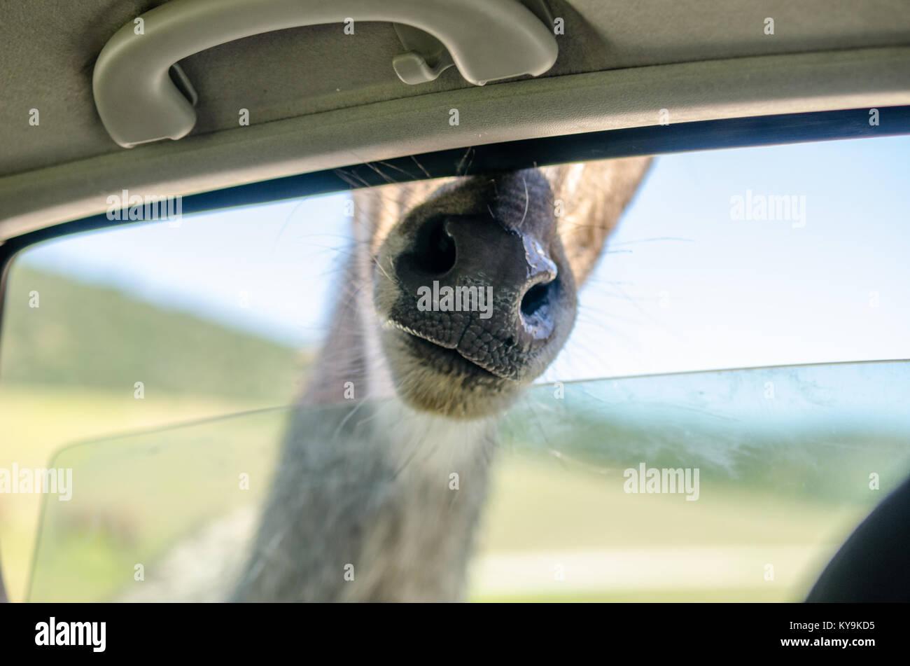 Giraffe draußen ein Auto Fenster in Safari Reise Stockbild