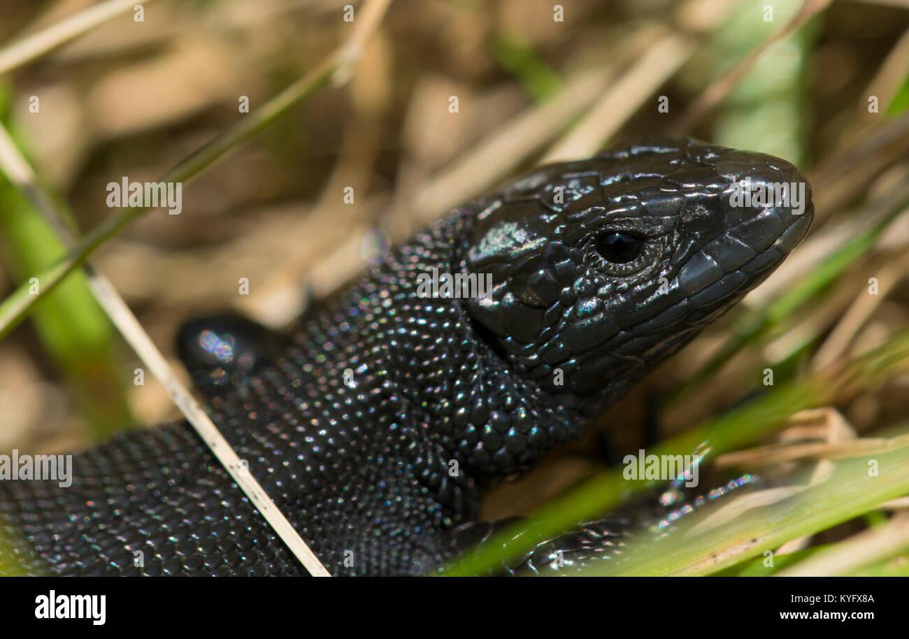 Melanistic/männlichen Schwarzen gemeinsame Lizard / Vivipar Eidechse Zootoca vivipara Nordenglischen Pennines Stockfoto
