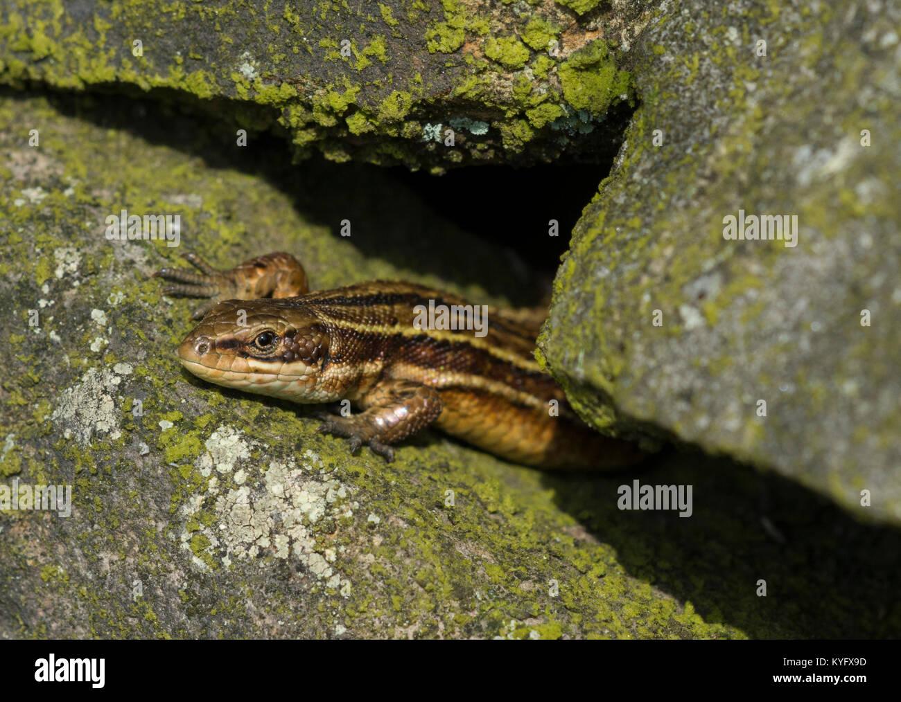 Gravid weiblich common/lebendgebärenden Eidechse Zootoca vivipara Nordenglischen Pennines. Stockfoto