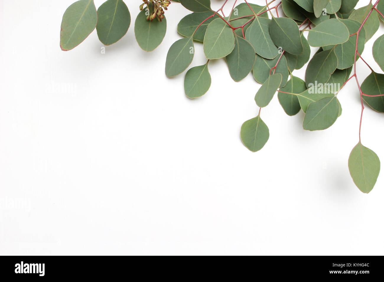 Rahmen, Rahmen aus grünem Silver Dollar Eukalyptus cinerea Blätter ...