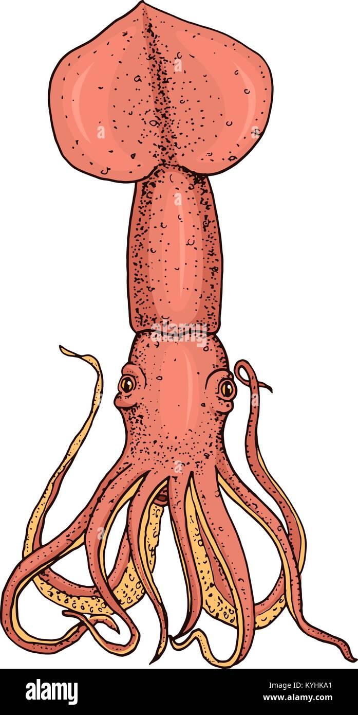 Meer Kreatur squid. Calamari graviert Hand in alte Skizze gezeichnet ...