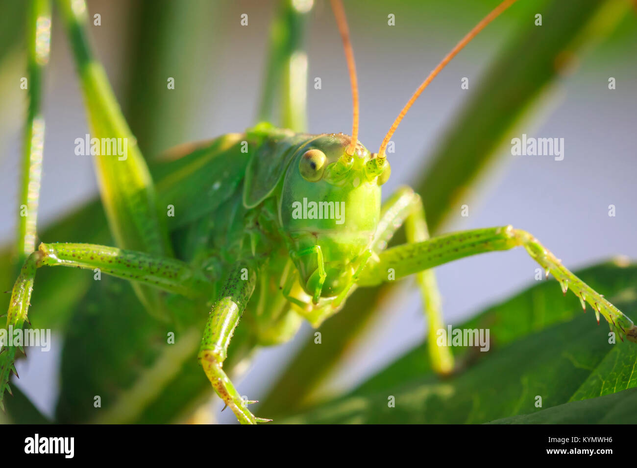 Makro head View close-up eine große Green Bush - Kricket, Tettigonia Viridissima. Stockbild