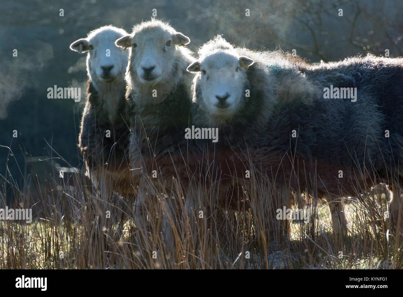 Herdwick Mutterschafe im frühen Morgen Frost. Cumbria, Großbritannien. Stockbild