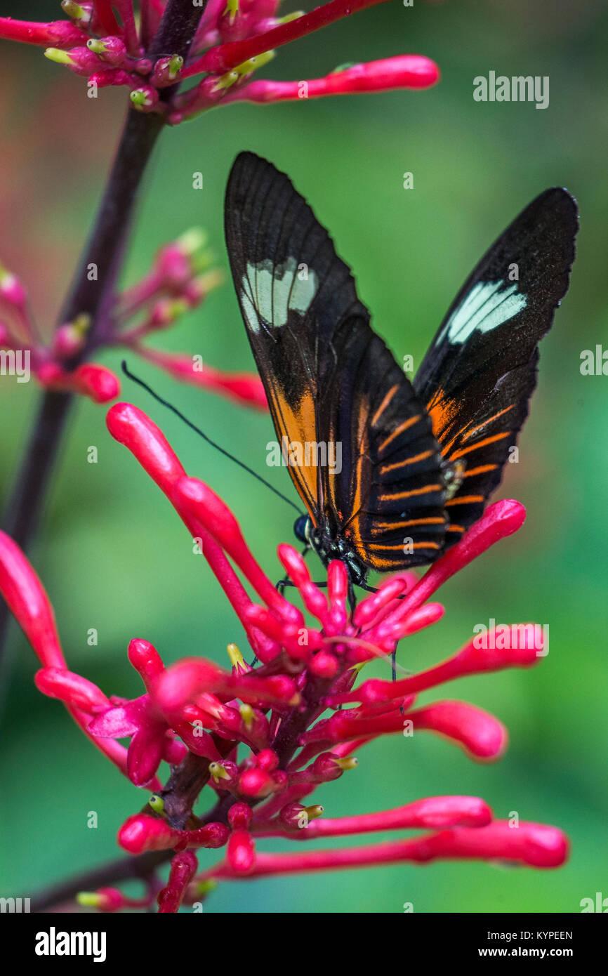 In der Nähe von Orange Schwarz und Weiß Heliconius Erato notabilis Butterfly allgemein bekannt als kleinen Stockbild