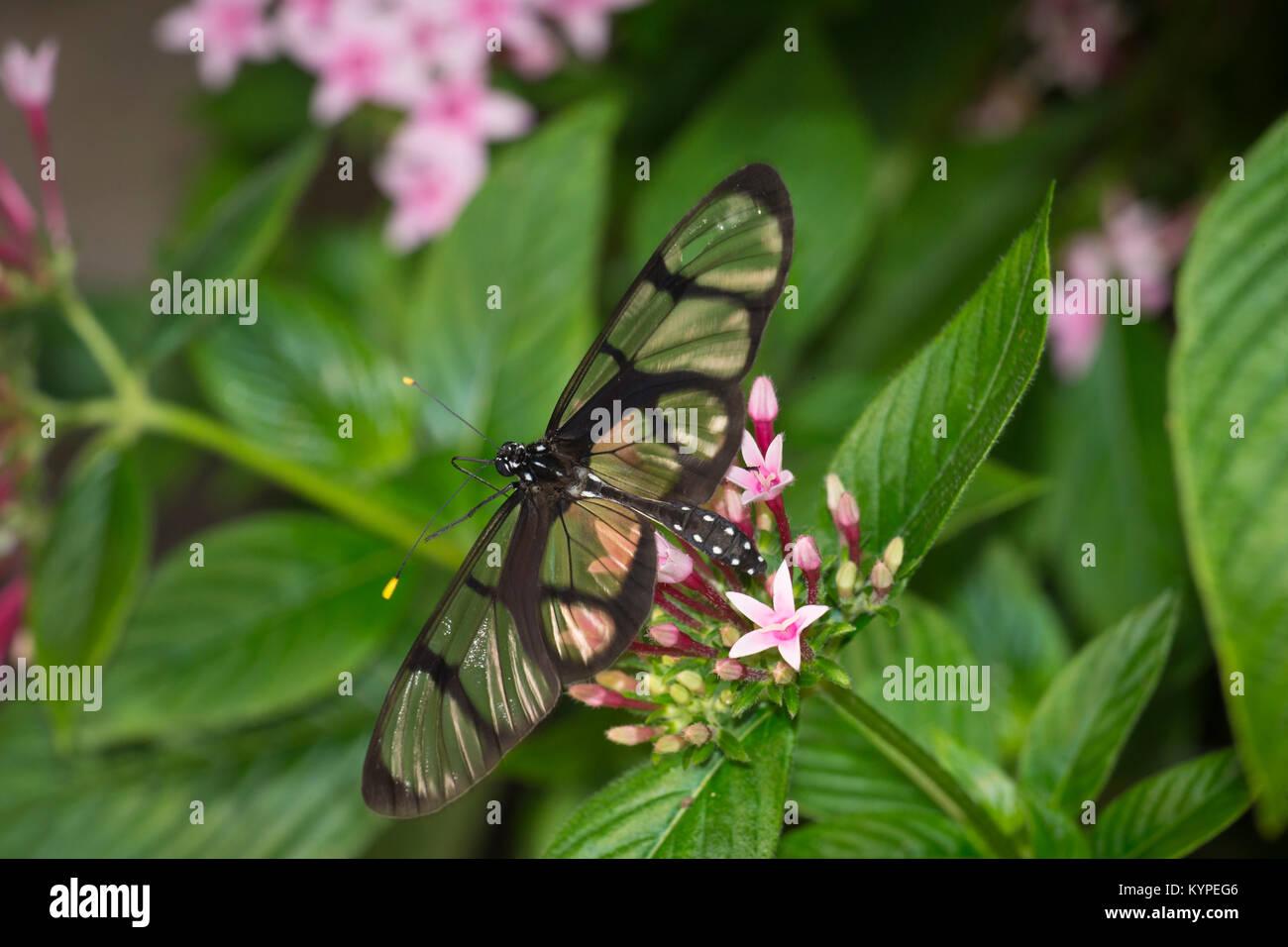 In der Nähe von Glasswing Schmetterling, Greta oto Stockbild
