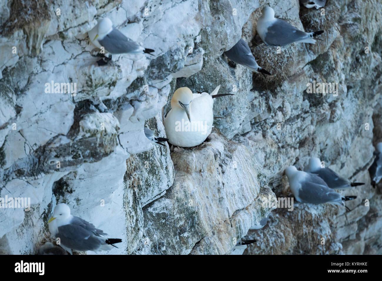 Blick auf einzelne gannett sitzen auf Nest an der Seite der Kreidefelsen, mit dreizehenmöwen nisten in der Stockbild