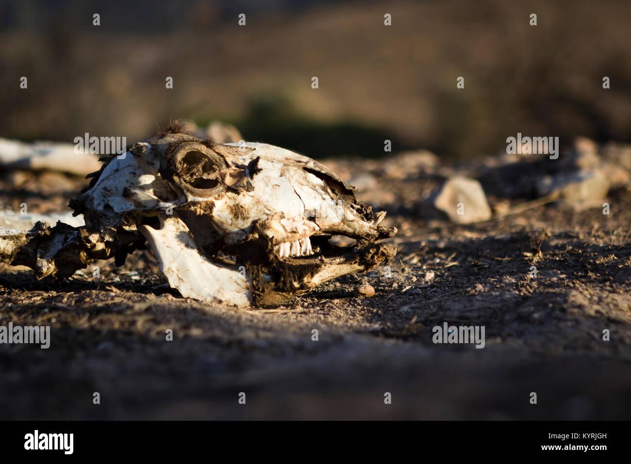 Tierischen Schädel in natürlichem Licht, düster, deprimierend, leistungsfähige Bild der Auswirkungen Stockbild