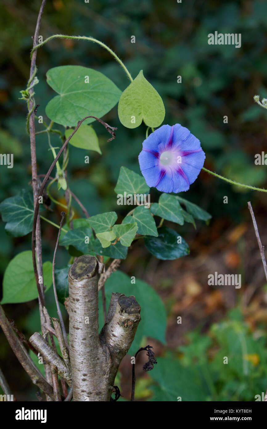 Single morning glory wächst ein Zweig Stockbild