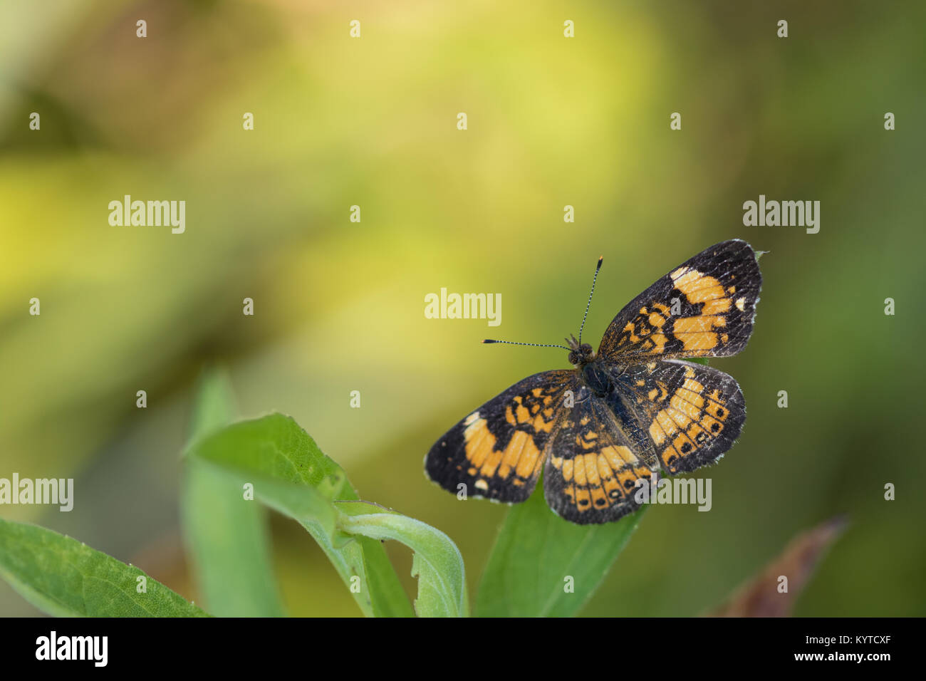 Pearl crescent Schmetterling (Phyciodes tharos) Stockfoto