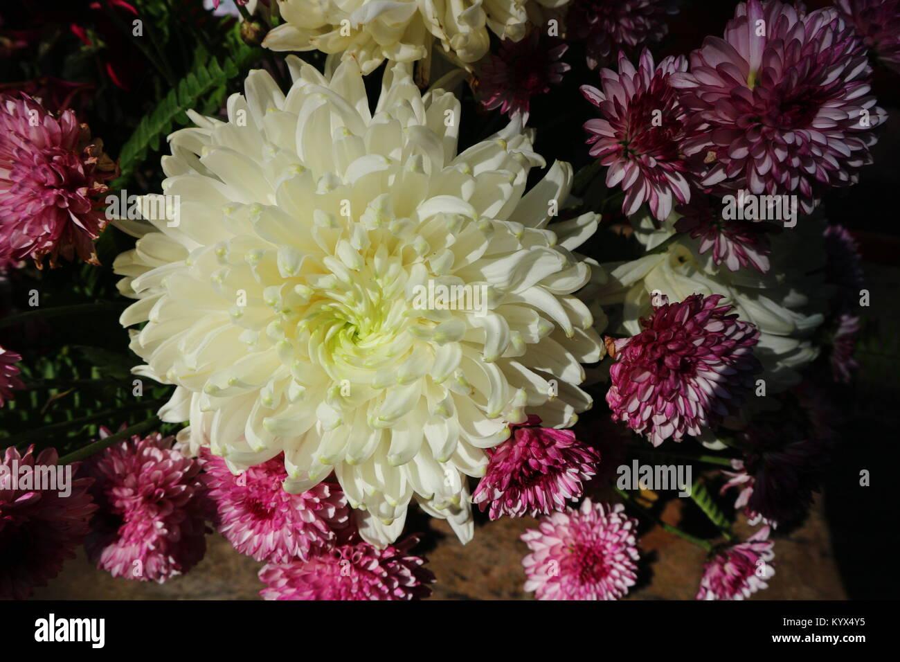 Schönen Lila Rosa Chrysanthemen Als Hintergrund Bild Chrysantheme