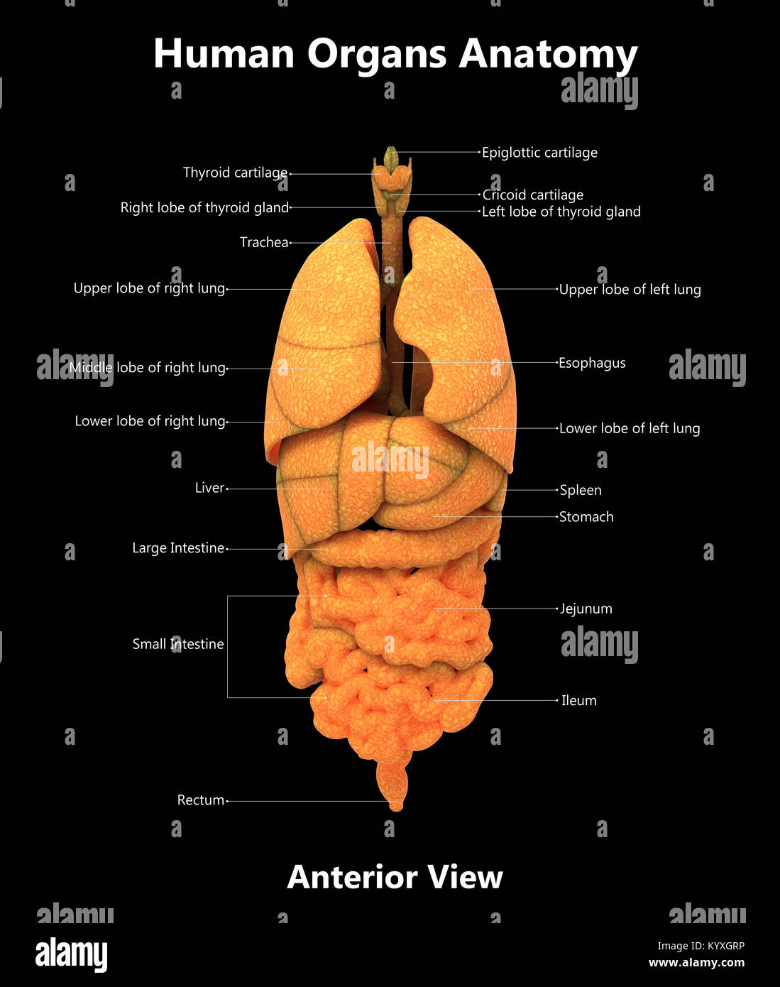 Menschlichen Körper Organe Label Design anteriore Ansicht Anatomie ...