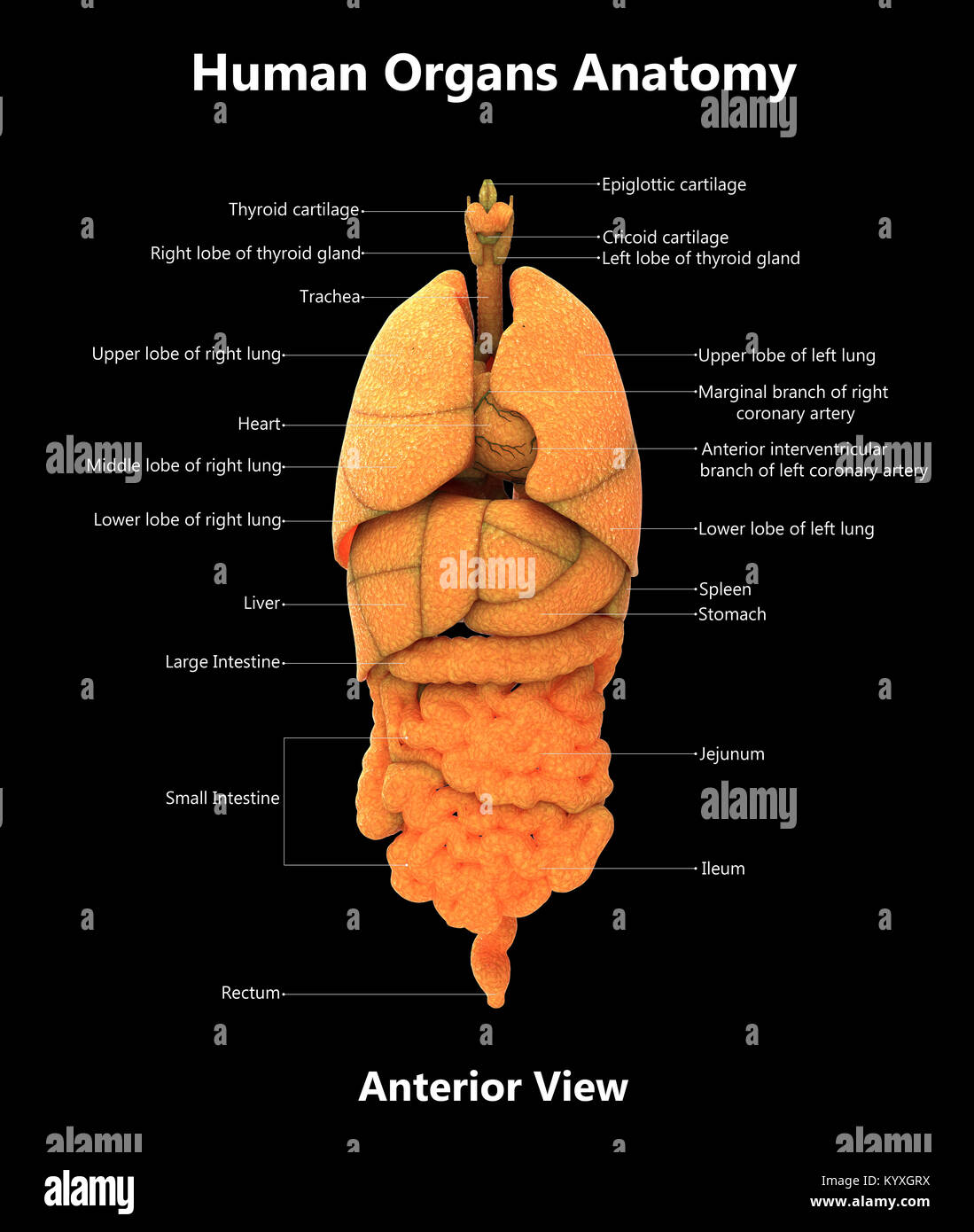 Digestive System Anterior View Stockfotos Digestive System