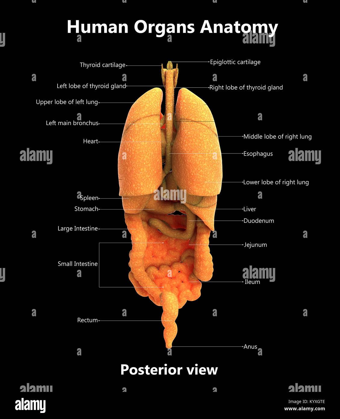 Menschlichen Körper Organe Label Design hintere Ansicht der Anatomie ...