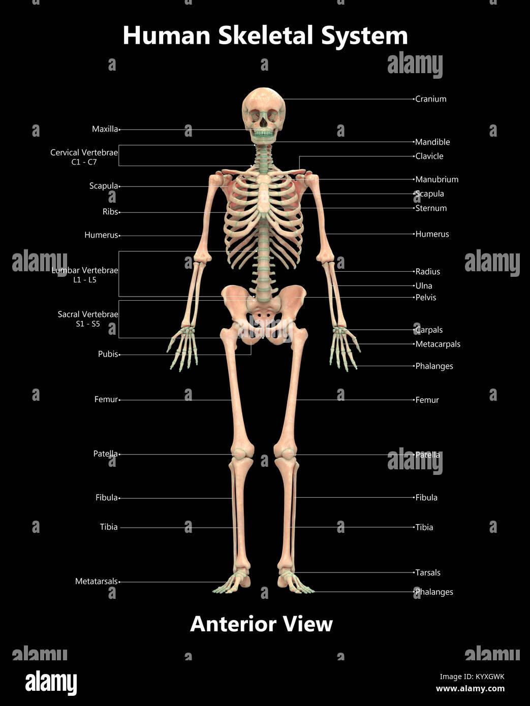 Erfreut Skelett System Bilder Ideen - Menschliche Anatomie Bilder ...