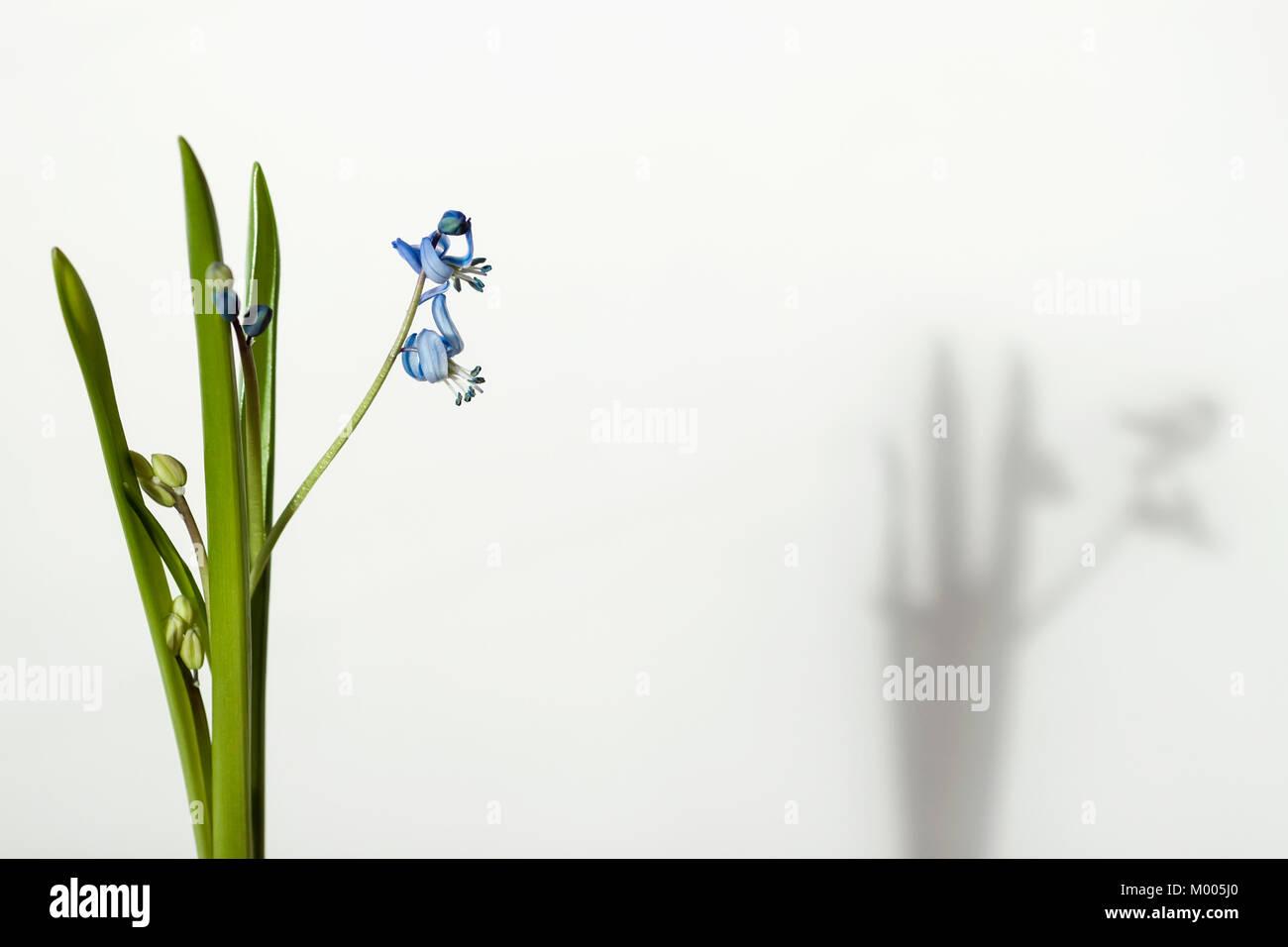 Anmutige zarte Primeln und ihr Schatten. Scilla siberica, Sibirische blausterne, der blühende Pflanze Familie Stockbild