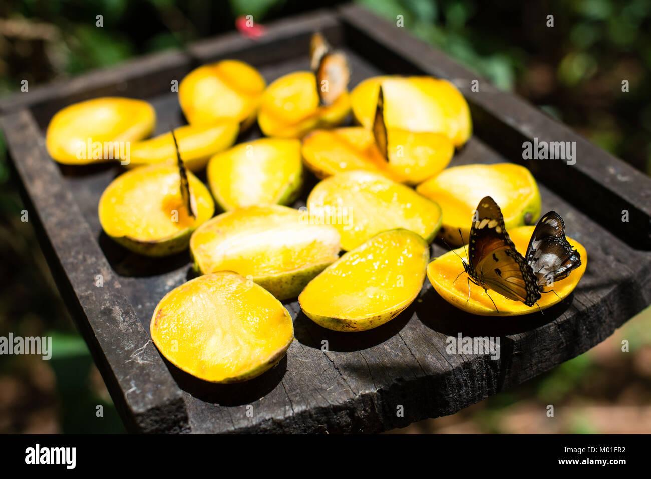 Schmetterlinge Futterung Auf Mango Obst In Schmetterling Zentrum