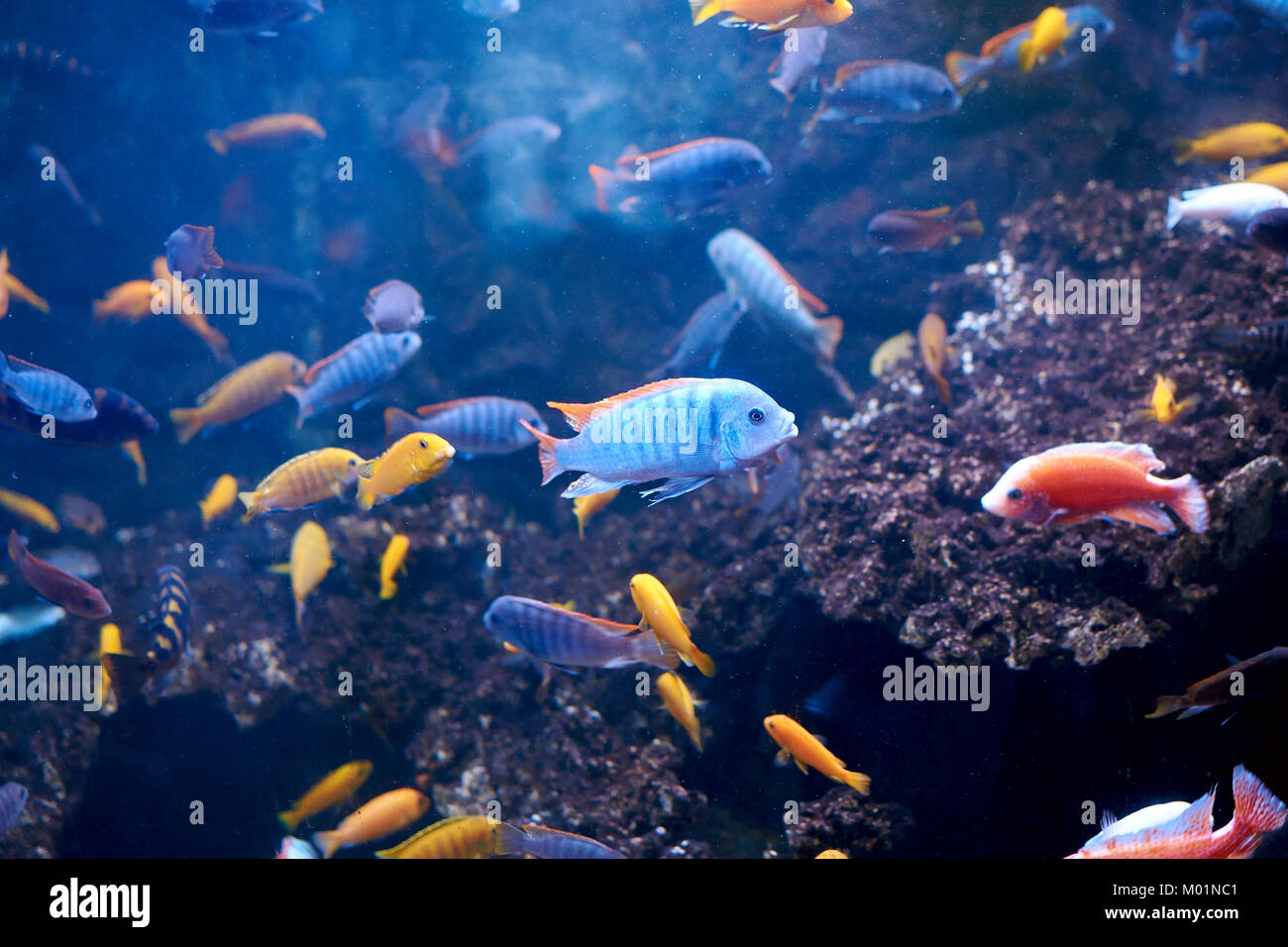 Cyrtocara greshakeiin Aquarium ad viele andere Cichliden. endemiten zum Lake Malawi Stockbild