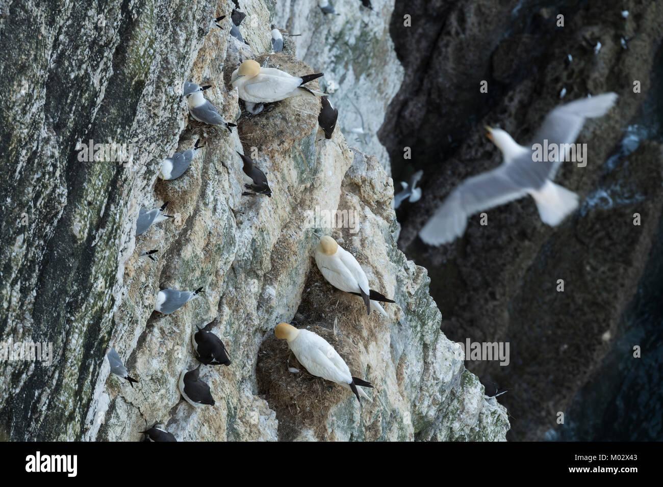 Hohe Aussicht auf 3 verschiedene Seevögel (basstölpel Trottellumme dreizehenmöwe) Verschachtelung Stockbild