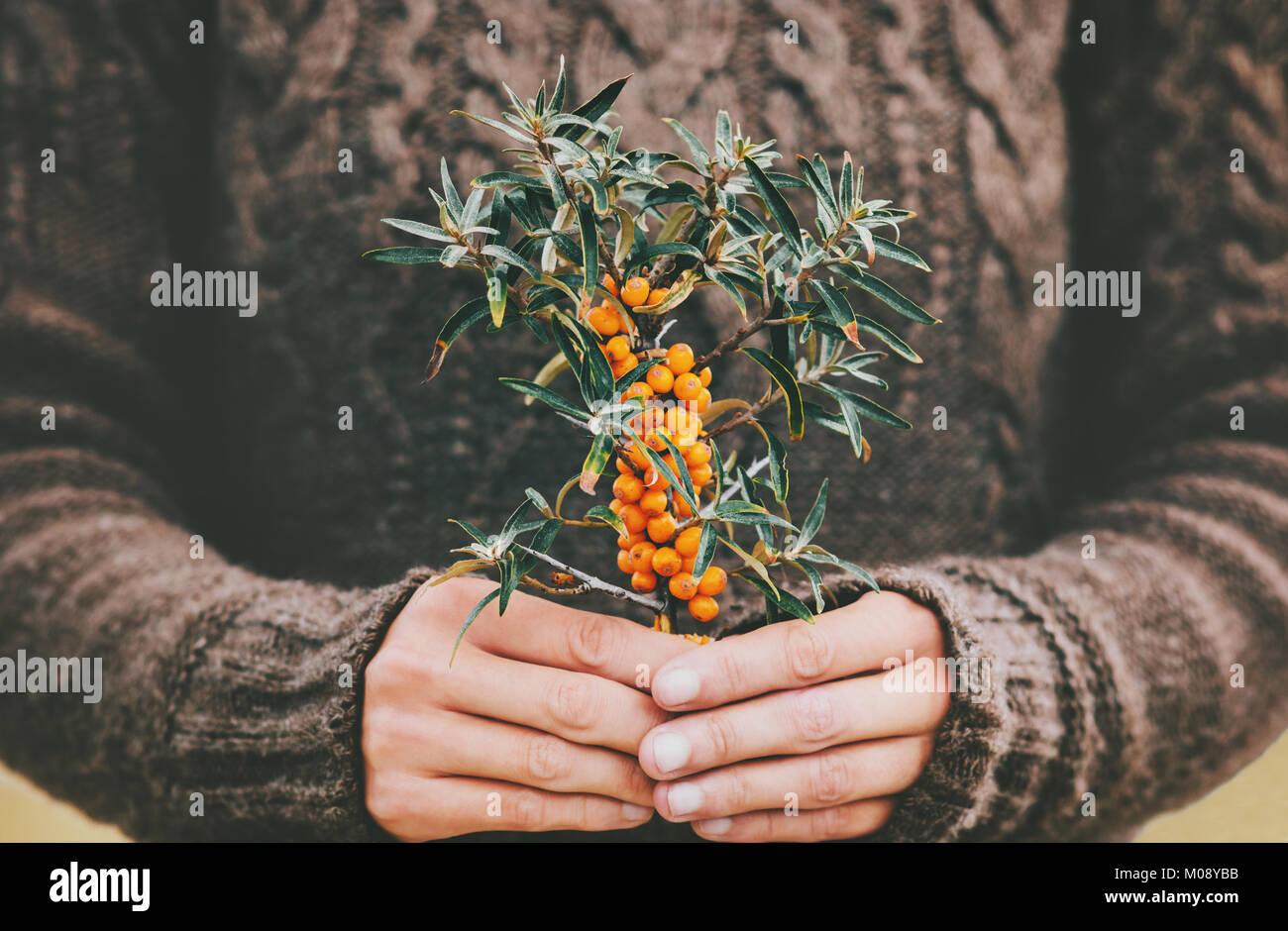 Frau Hände halten Sanddornbeeren Bio Lebensmittel gesunde Lebensweise Pflanze frisch gepflückt gemütliche Strickpullover Stockfoto