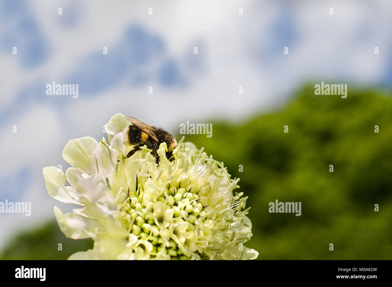 A Giant Bee Stockfotos & A Giant Bee Bilder - Alamy