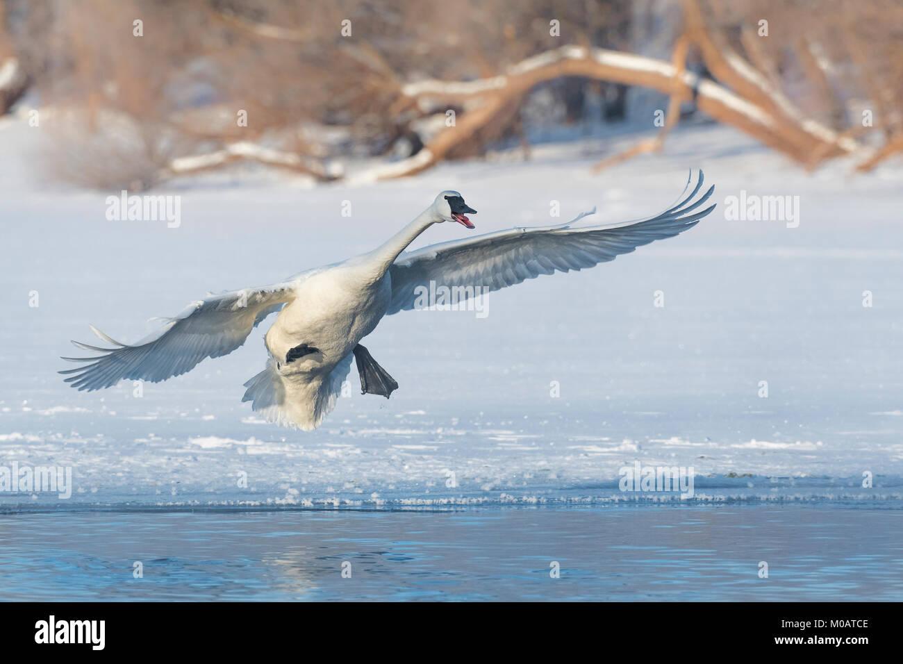 Trumpeter Swans (Cygnus buccinator), St. Croix River zwischen Minnesota und Wisconsin. Hudson, WI, USA, von Dominique Stockbild