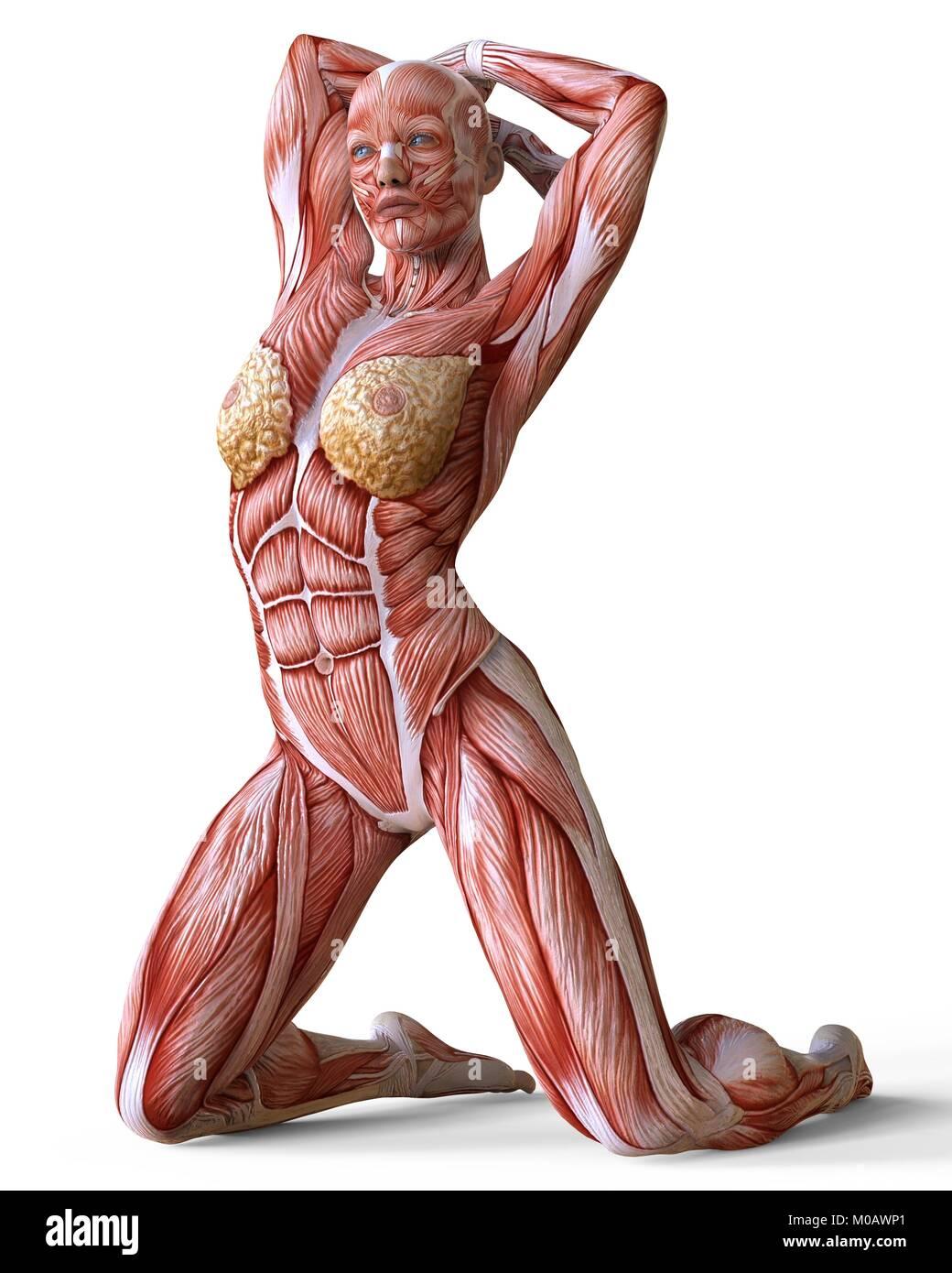 Weibliche Körper ohne Haut, Anatomie und Muskeln isoliert auf weißem ...