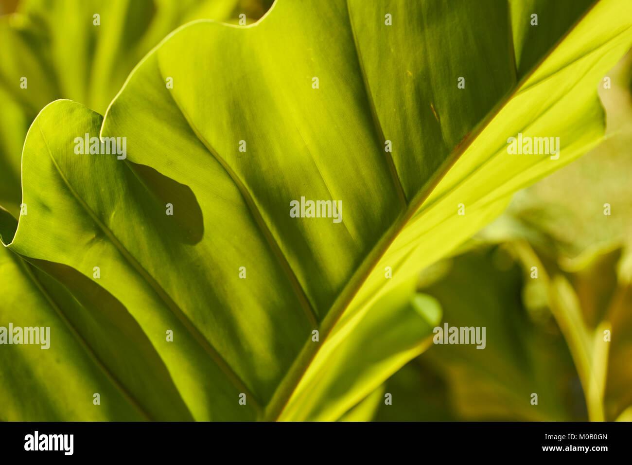 Banana leaf closeup, Chiang Mai, Thailand Stockbild