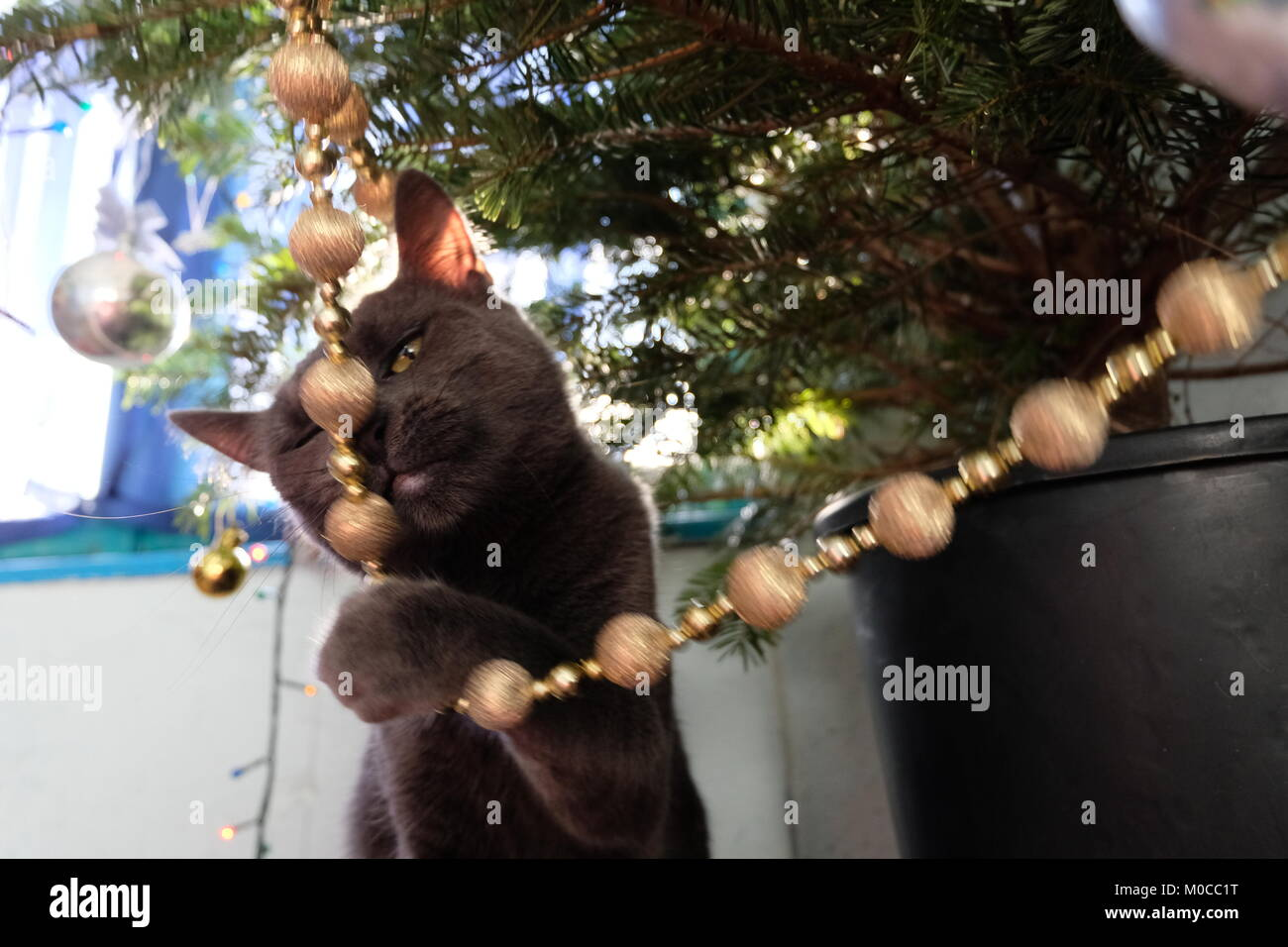 Russisch Blau Katze Suchen Naughty In Der Nahe Von Christbaumschmuck