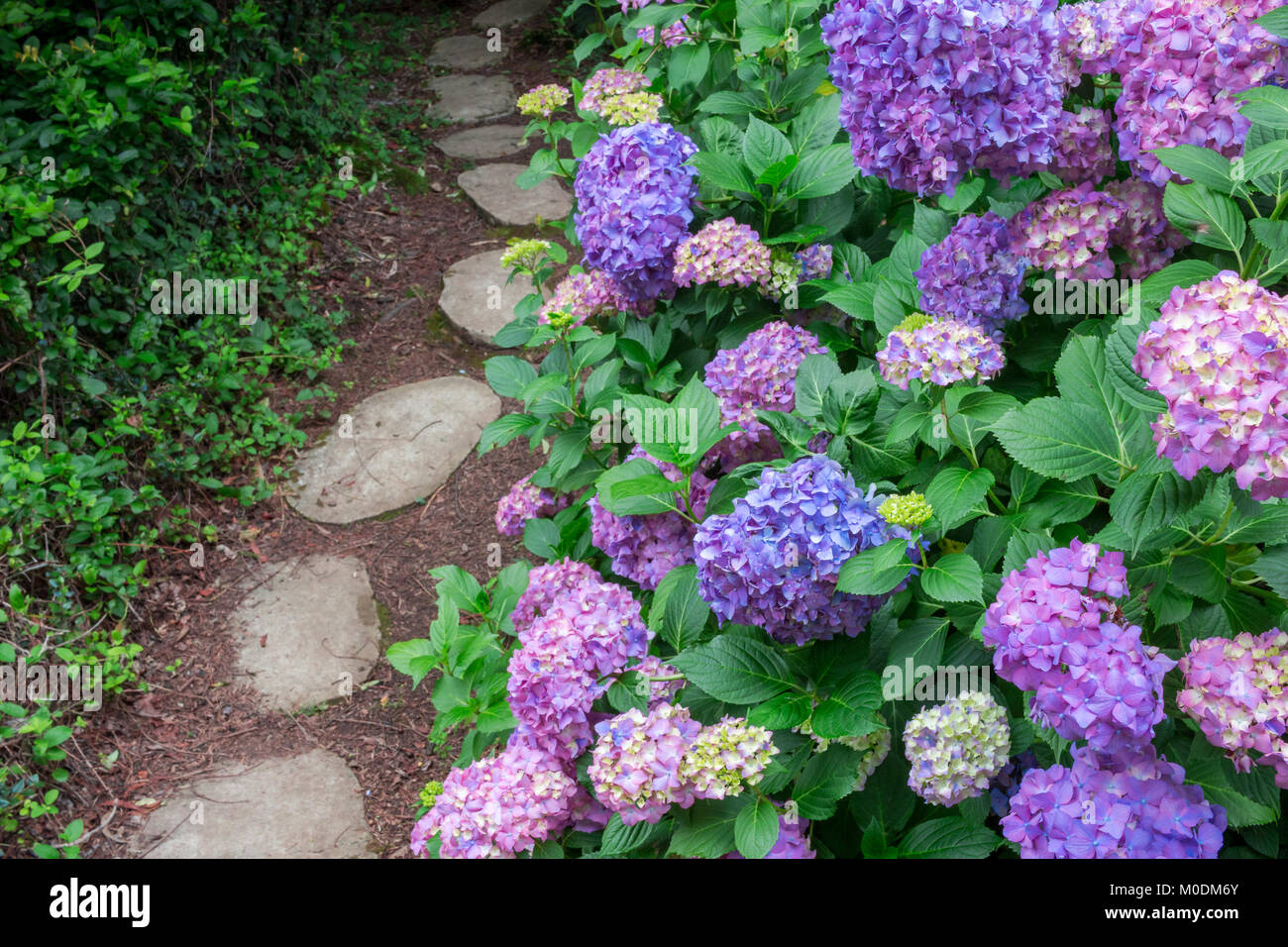 garden path with hydrangea stockfotos garden path with hydrangea bilder alamy. Black Bedroom Furniture Sets. Home Design Ideas