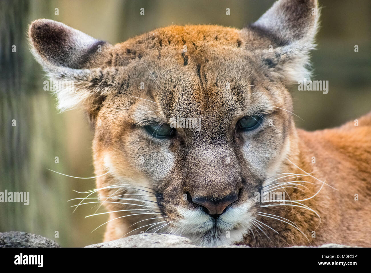 Hangry Cougar an Kamera Stockbild