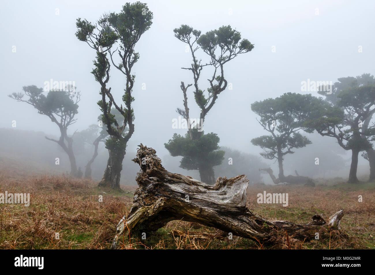 Alten Lorbeerwald Mountain Mist, Fanal, Madeira Stockbild