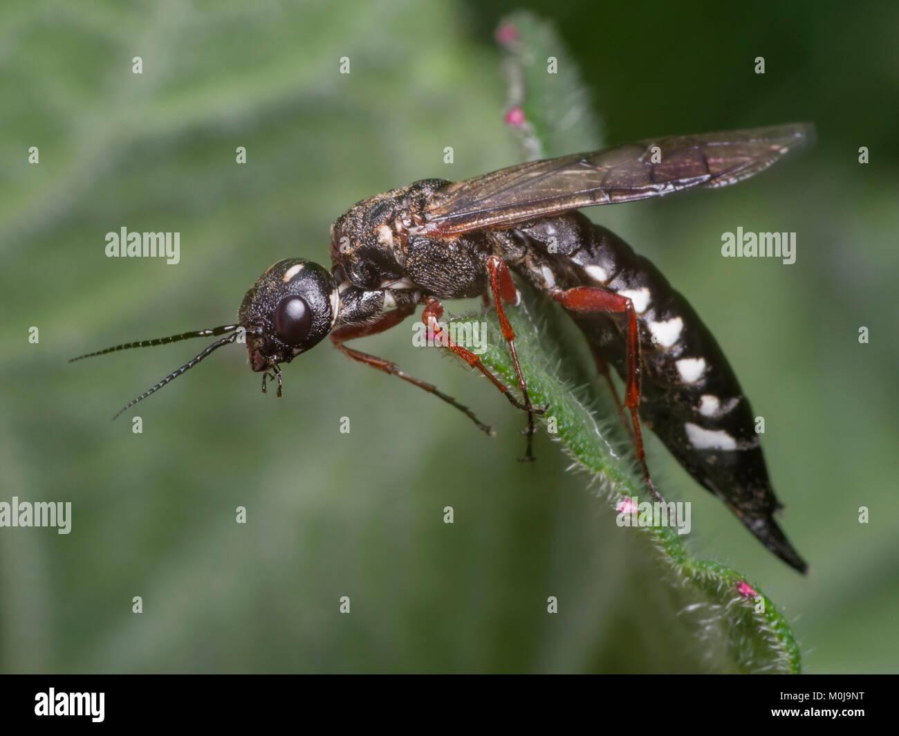 large wasp stockfotos large wasp bilder alamy. Black Bedroom Furniture Sets. Home Design Ideas