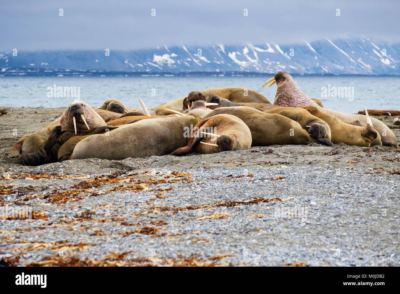 Die Gruppe der Walrosse (Odobenus rosmarus) zog im Sommer 2017 aus, um sich auf dem trockenen Land an der arktischen Stockfoto