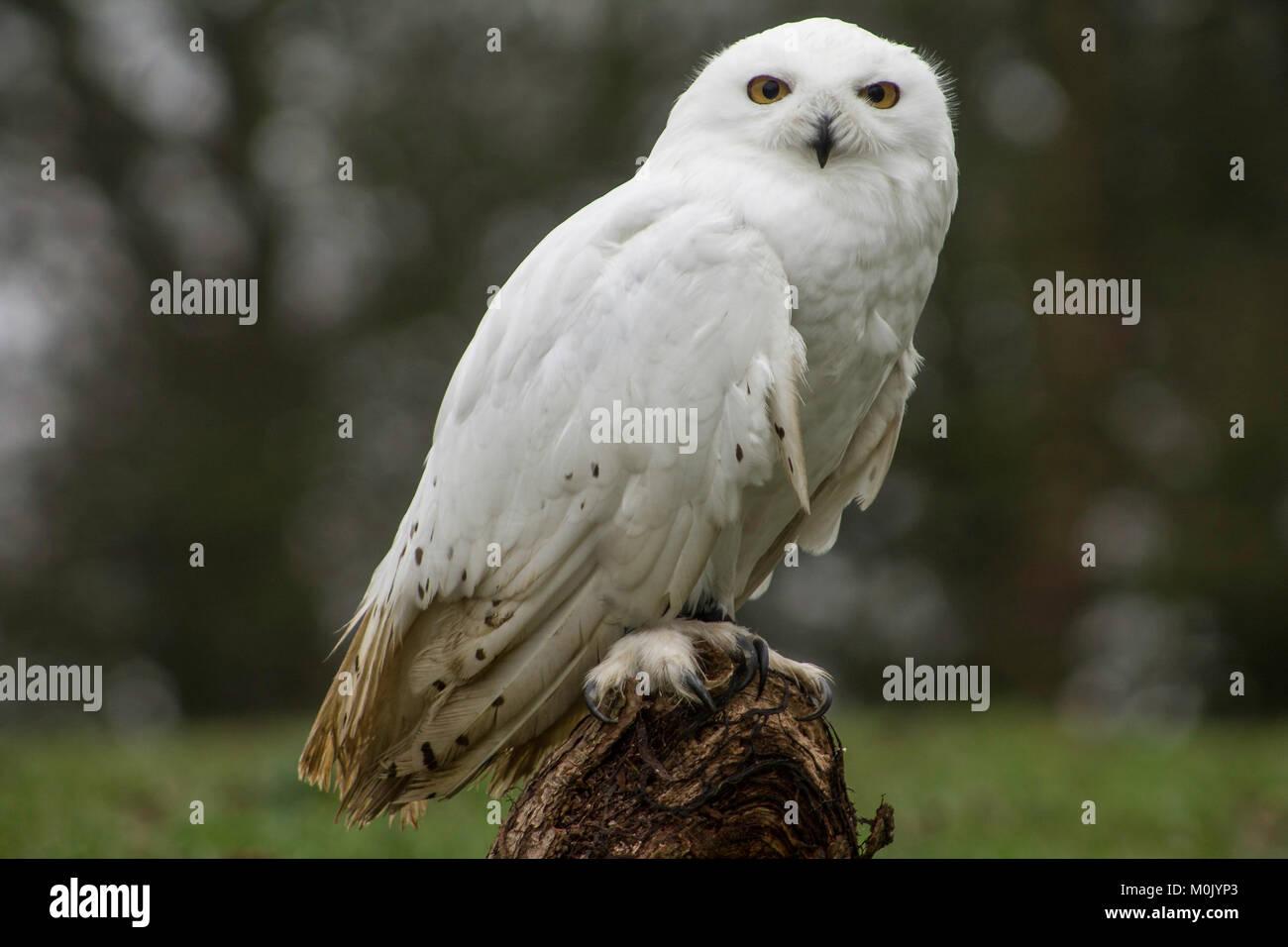Snowy Owl - Greifvögel und Eulen Stockbild