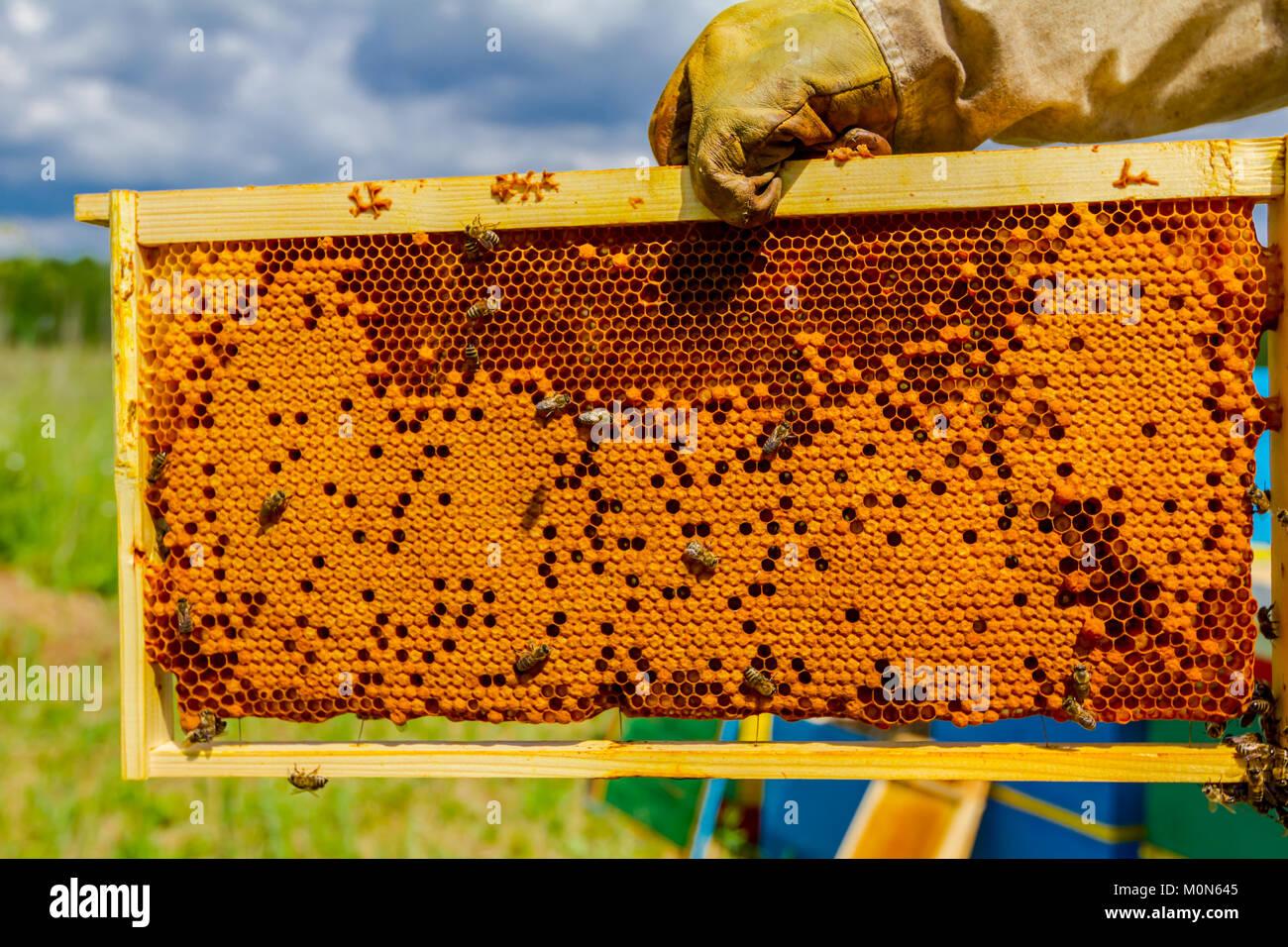 Imker hält sich geschlossen Wabe voll mit Honig auf Holzrahmen ...