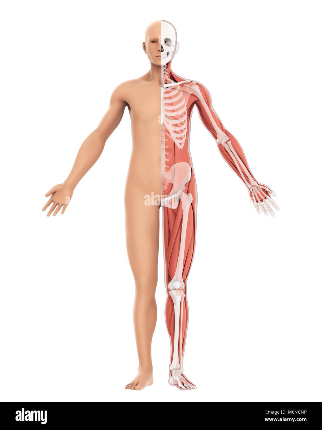 Menschliche Körper amd Skelett Anatomie isoliert Stockfoto, Bild ...