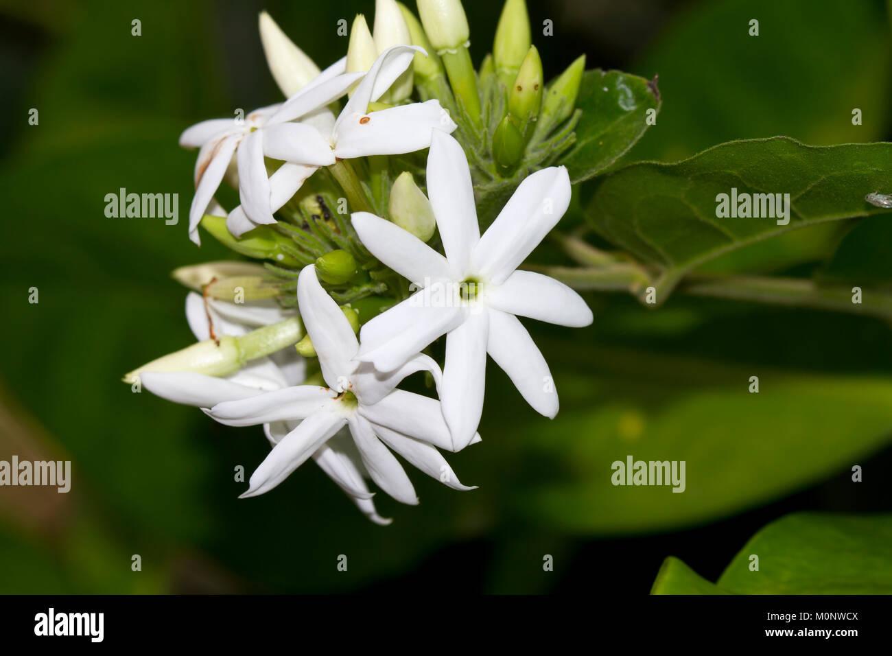 Jasmin Jasminum Sambac Bali Indonesien Stockfoto Bild