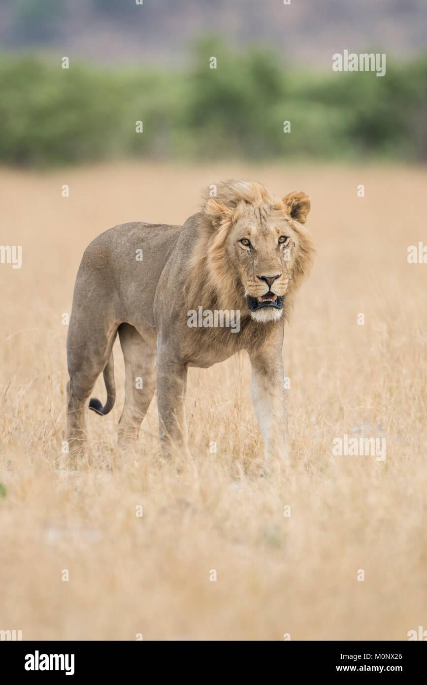 Löwe (Panthera leo), junge männliche Spaziergänge durch Gras Savanne, Savuti, Chobe National Park, Stockbild