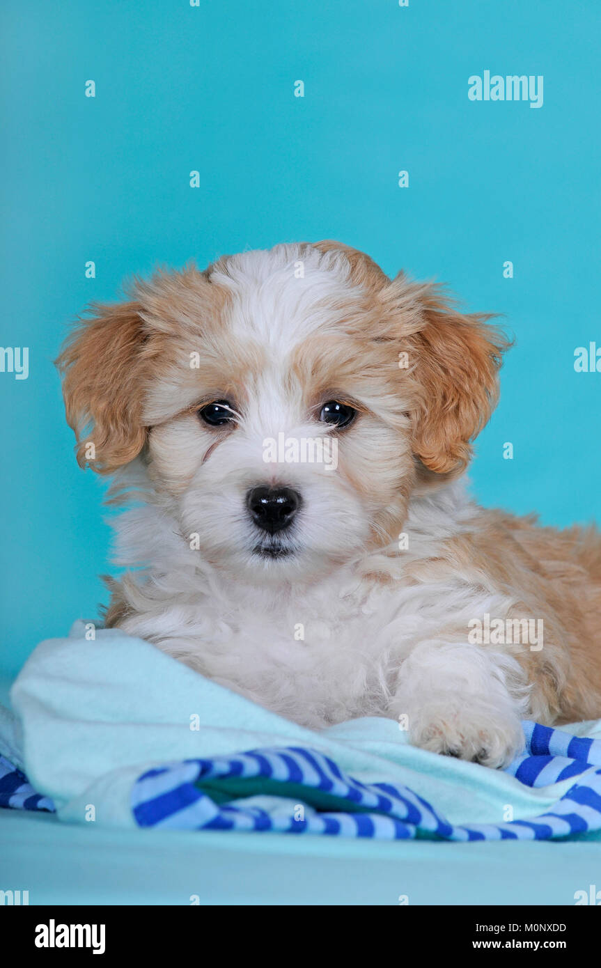 Havanese Dog Lying Stockfotos Und Bilder Kaufen Alamy