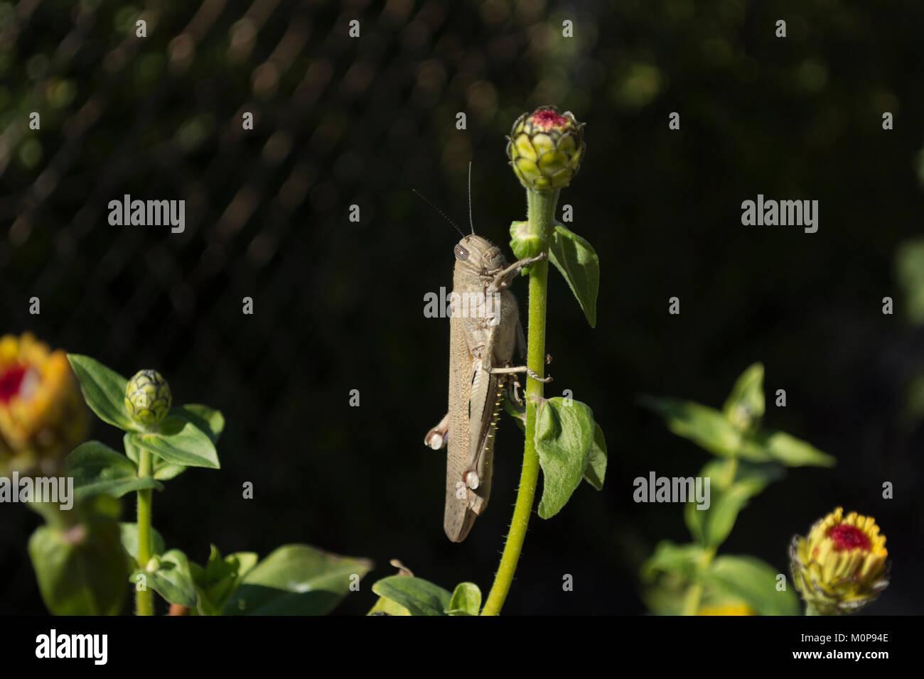 Ägyptische Heuschrecke auf zinnia Stamm mit einem schwarzen Hintergrund Stockfoto